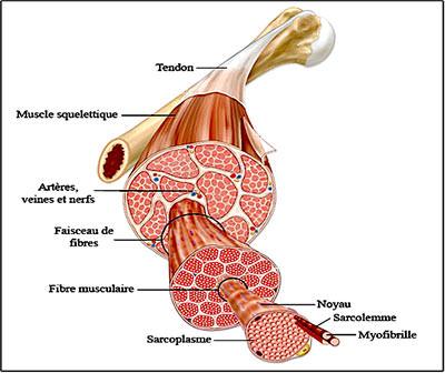 crampe musculation